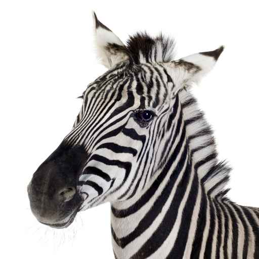 Carte anniversaire zebre